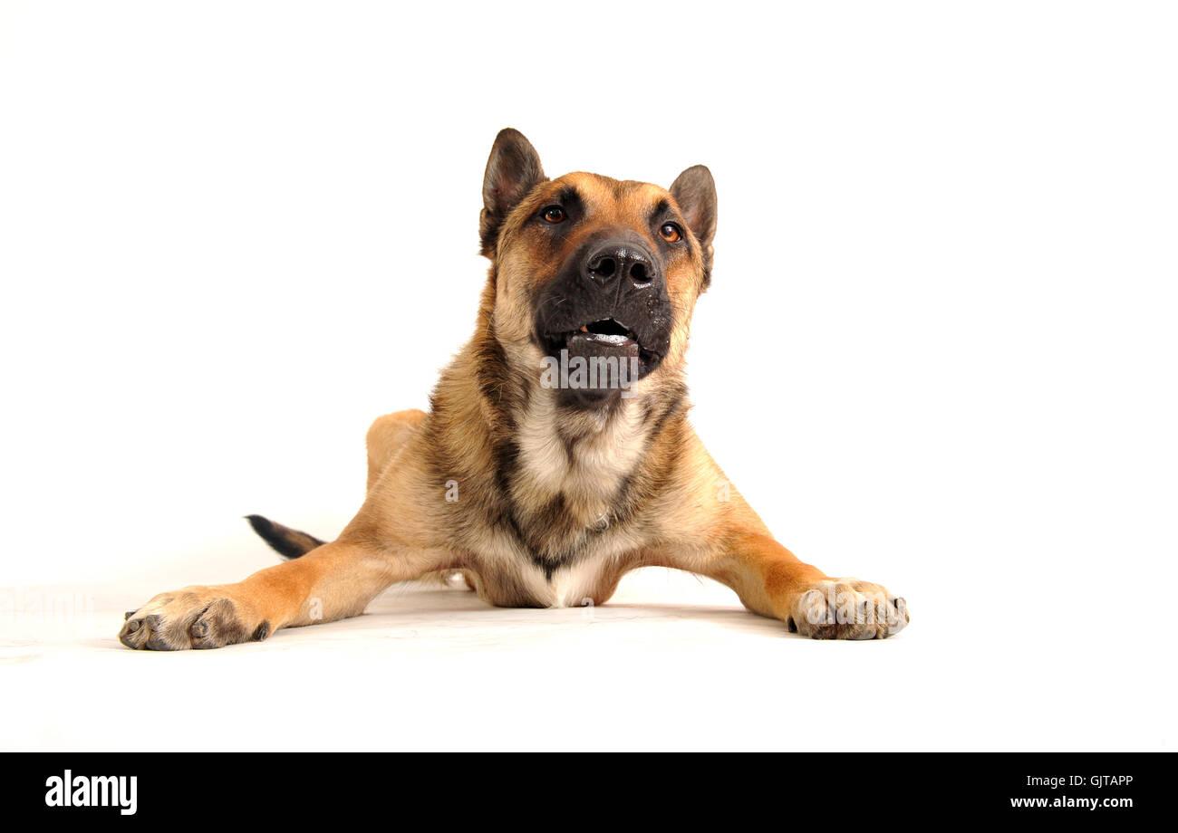 pet dog shepherd - Stock Image
