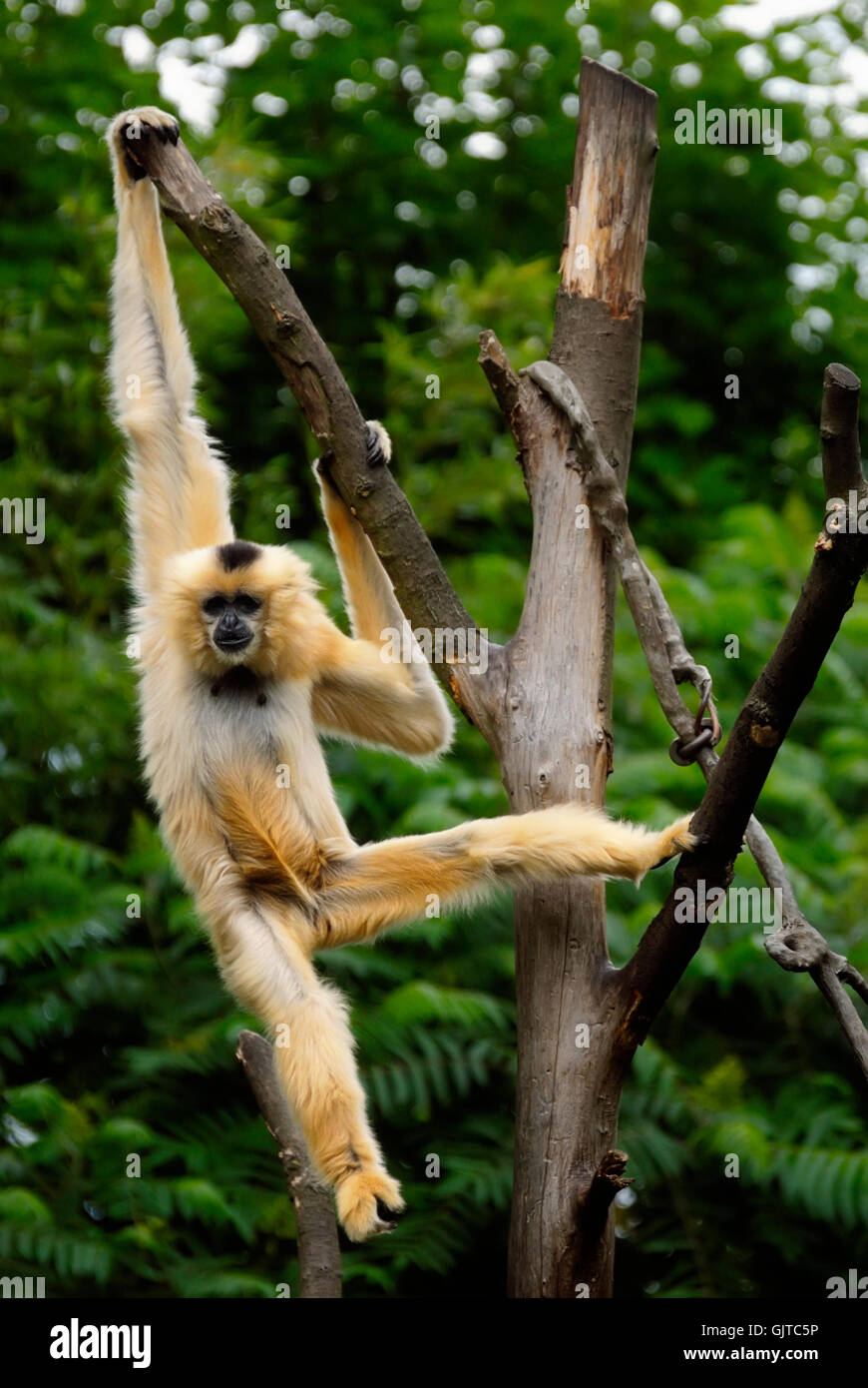animal monkey hang - Stock Image