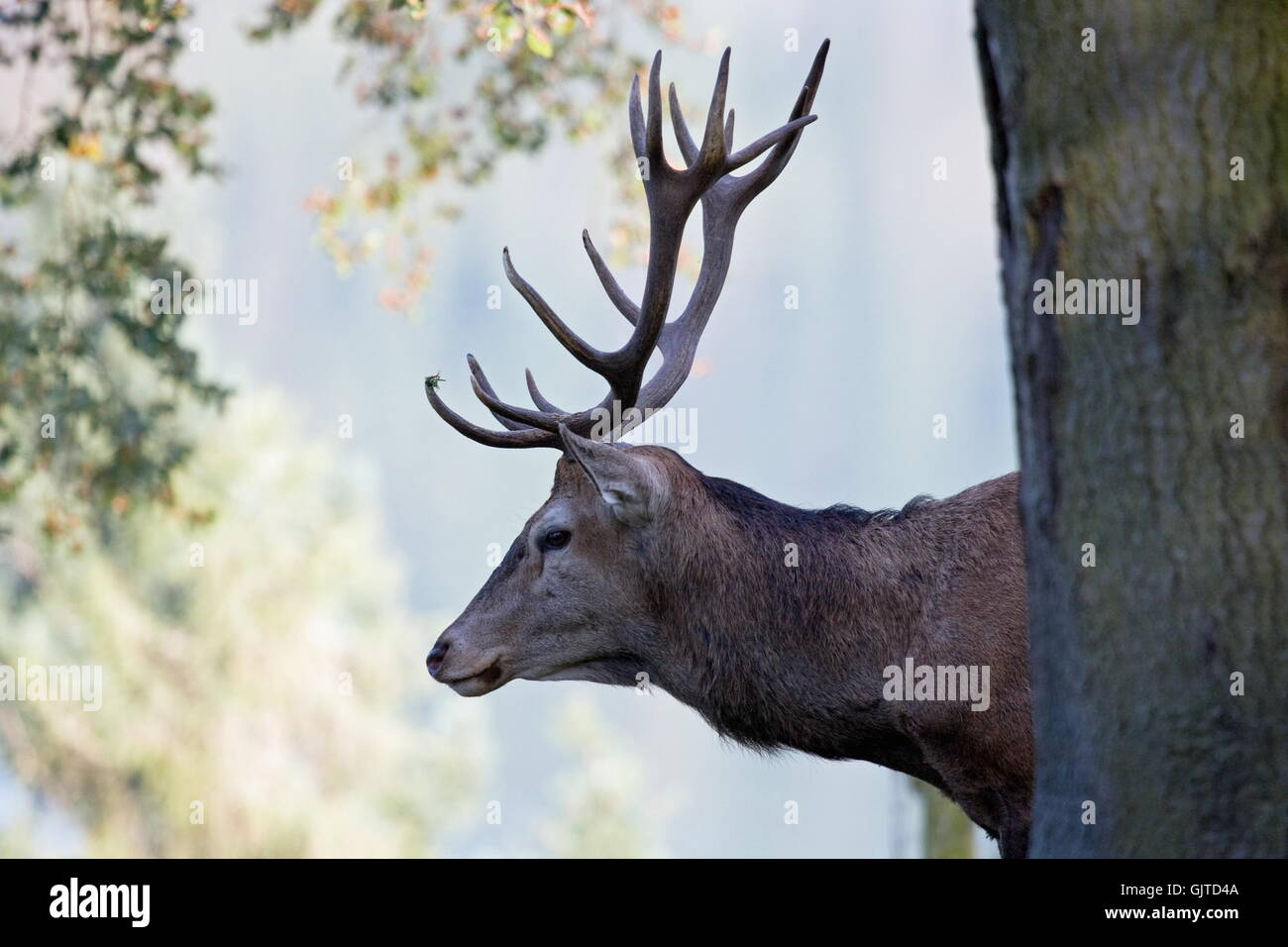 deer stag hart stag - Stock Image