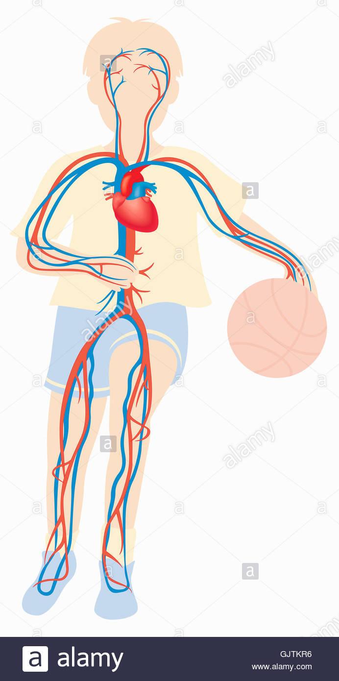 Healthy Cardiovascular System Stock Photos Healthy Cardiovascular
