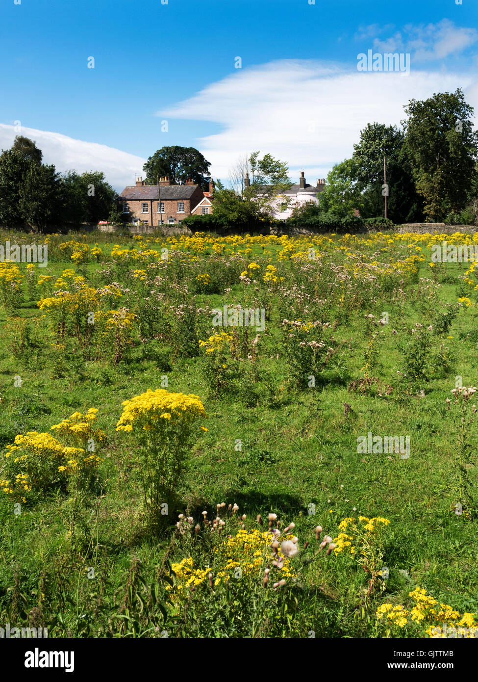 Summer Meadow with Ragwort and Thistles at Bishopton near Ripon North Yorkshire England - Stock Image
