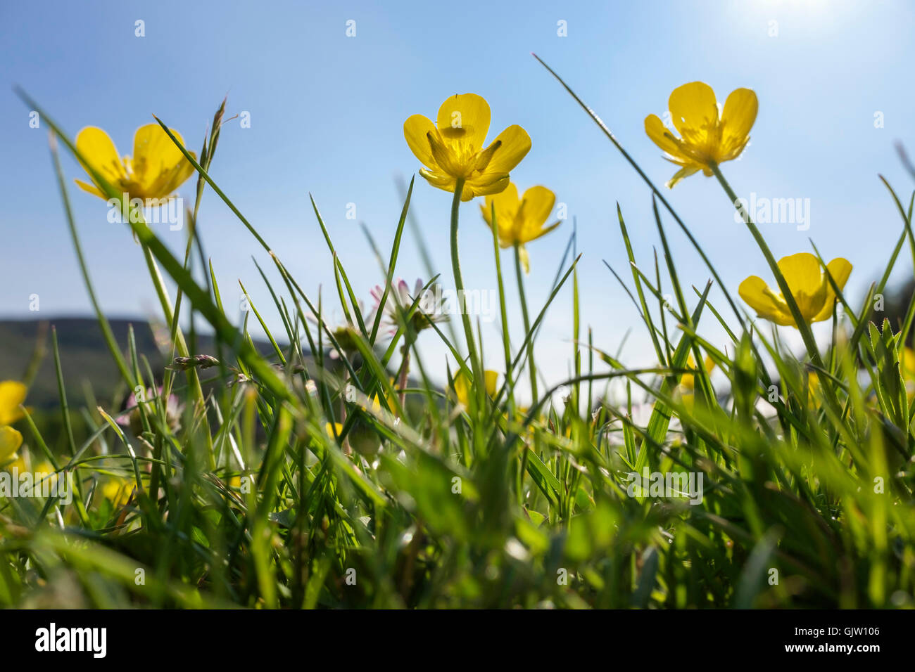 Worm's-eye view of yellow Meadow Buttercups (Ranunculus acris) flowers growing in lawn grass backlit by sunlight - Stock Image