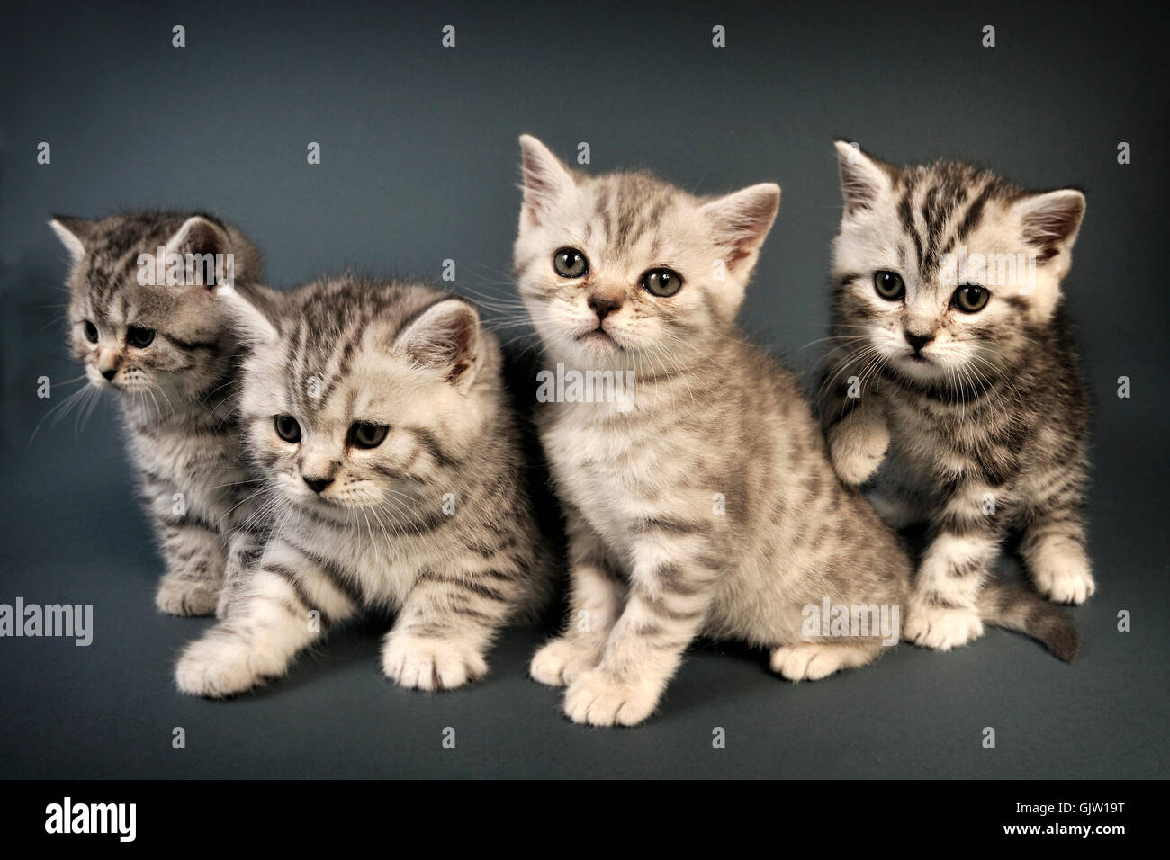 british shorthair kittens adorable animal baby beautiful cat charming companion cuddly cute domestic feline friend - Stock Image