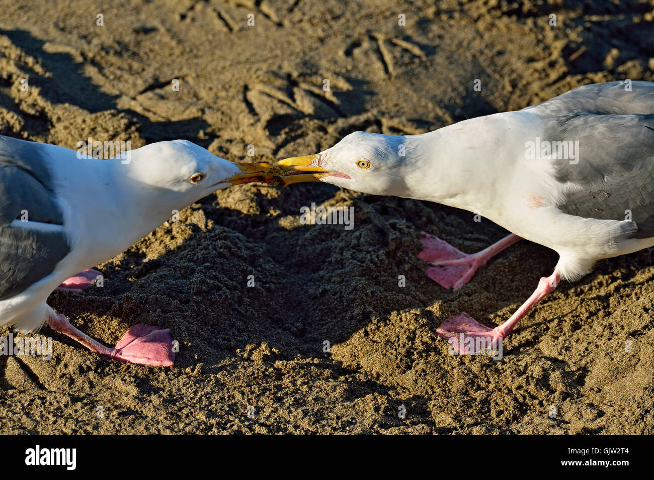 Western Gull (Larus occidentalis) A pair of adults tugging on a morsel of food, San Simeon, California, USA - Stock Image