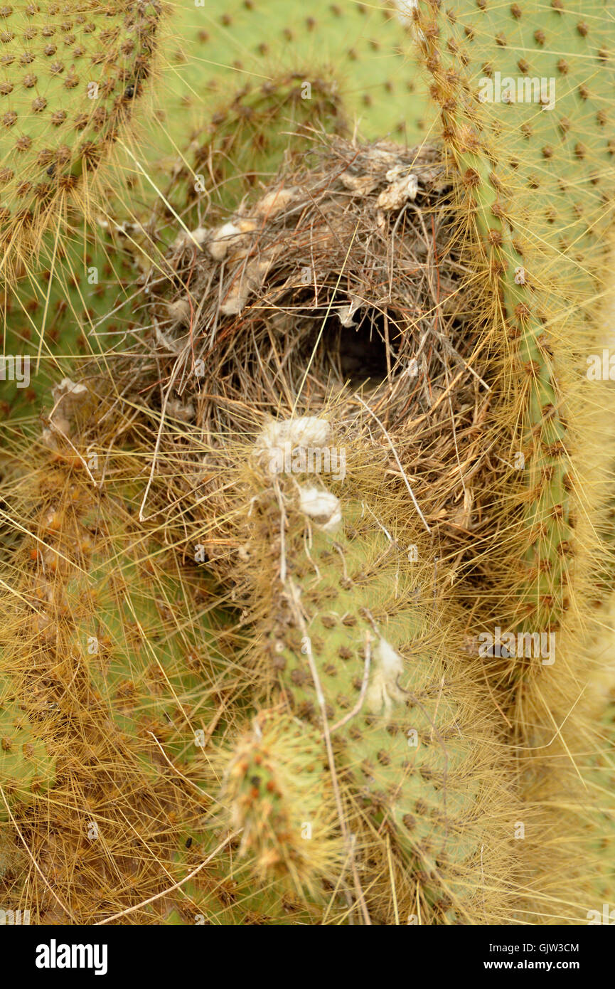 Galapagos finch nest in Opuntia cactus, Galapagos Islands National Park, Santa Cruz Island, Dragon Hill, Ecuador - Stock Image