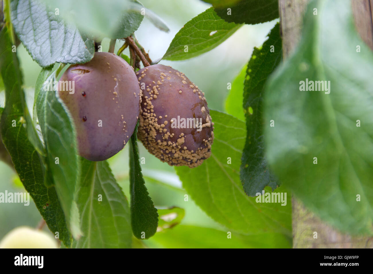 2 Plums ripening on a tree with mould - Stock Image