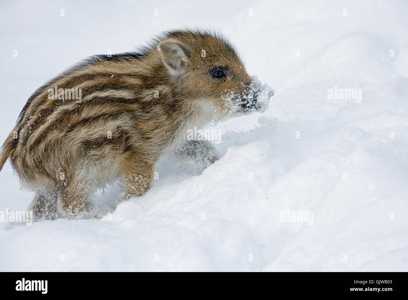 young of a wild boar winter animal - Stock Image