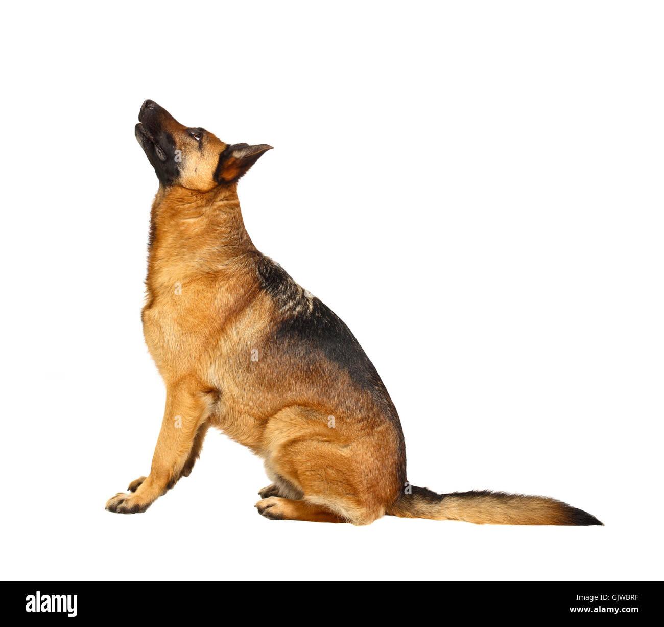 isolated dog homey - Stock Image
