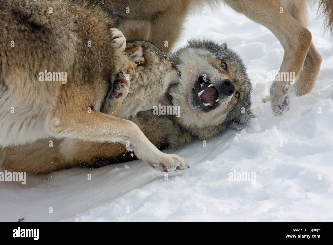 clash of the wolves - Stock Image
