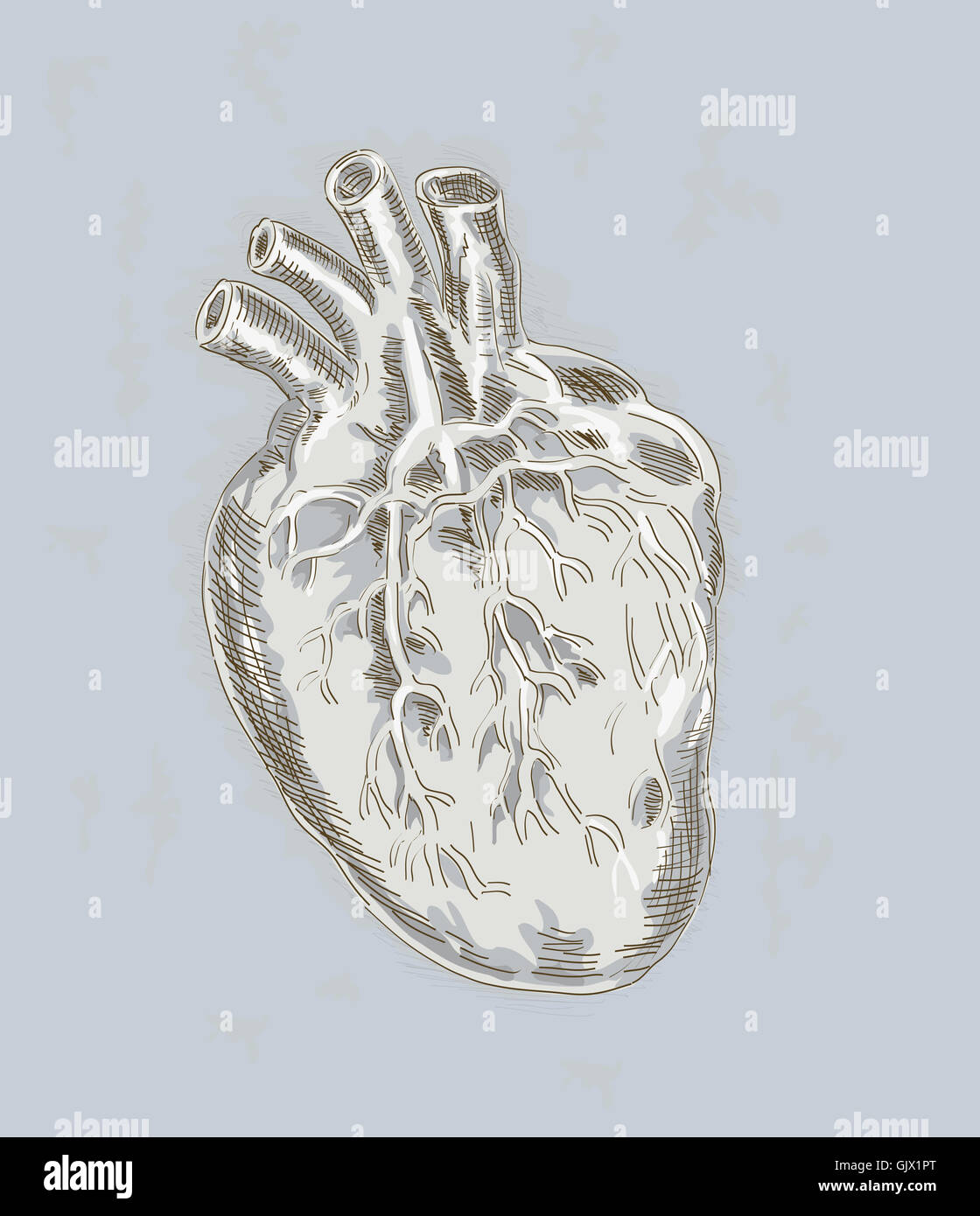heart anatomy anatomical - Stock Image