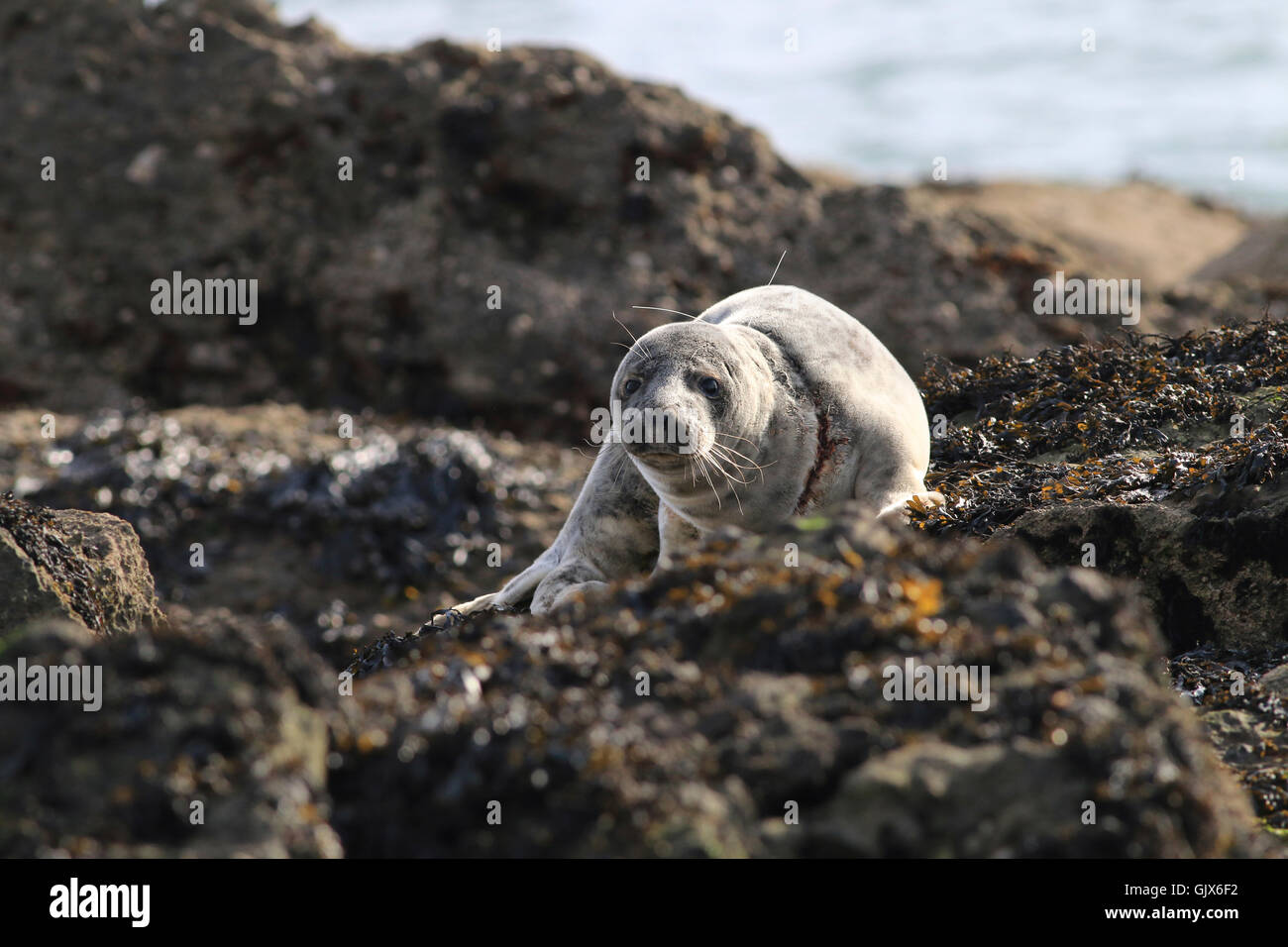 Young seal entangled and injured by discarded fishing line - Stock Image