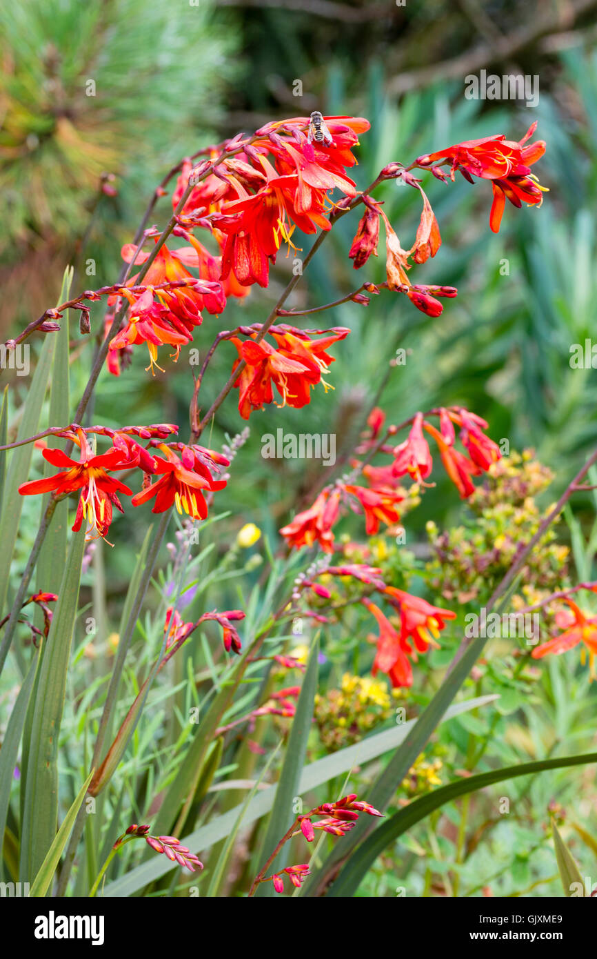 Bright red orange flowers of the hardy perennial corm crocosmia x bright red orange flowers of the hardy perennial corm crocosmia x crocosmiiflora saracen mightylinksfo
