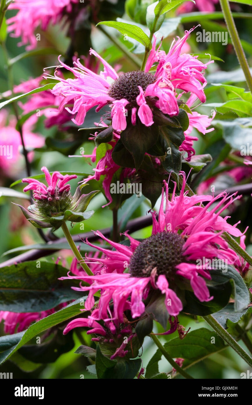 August Flowers Of The Ornamental Beebalm Monarda Didyma Pink Lace