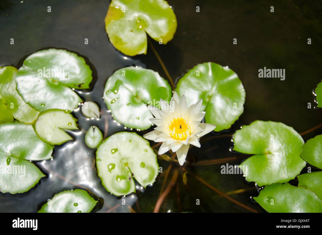 Lotus flower bangkok thailand stock photos lotus flower bangkok white thai lotus flower bangkok thailand stock image izmirmasajfo