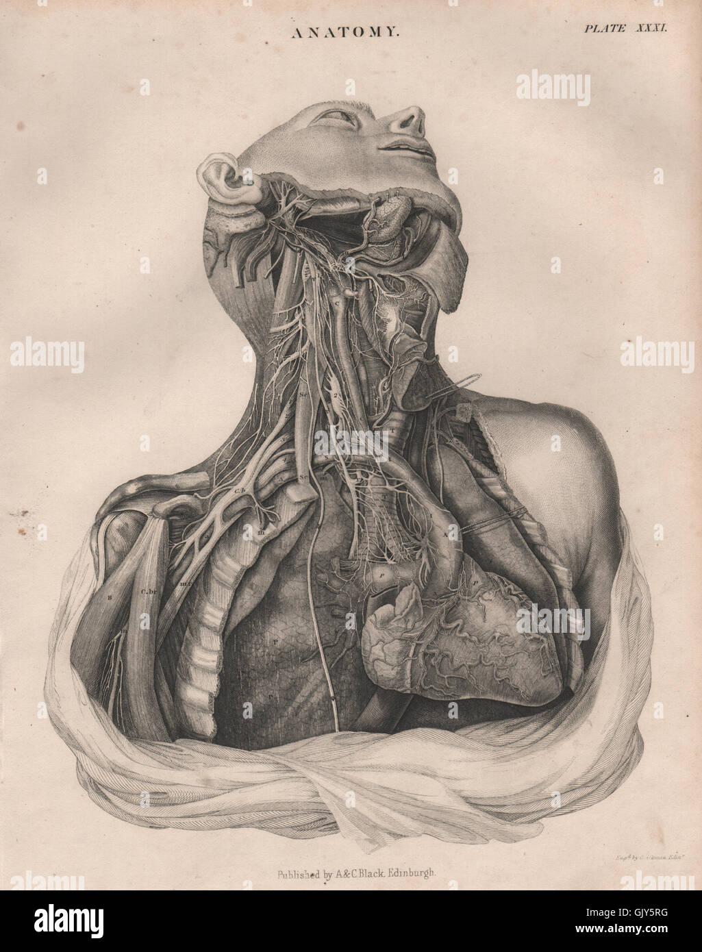 Human Anatomy. Heart lungs chest neck arteries veins. BRITANNICA ...