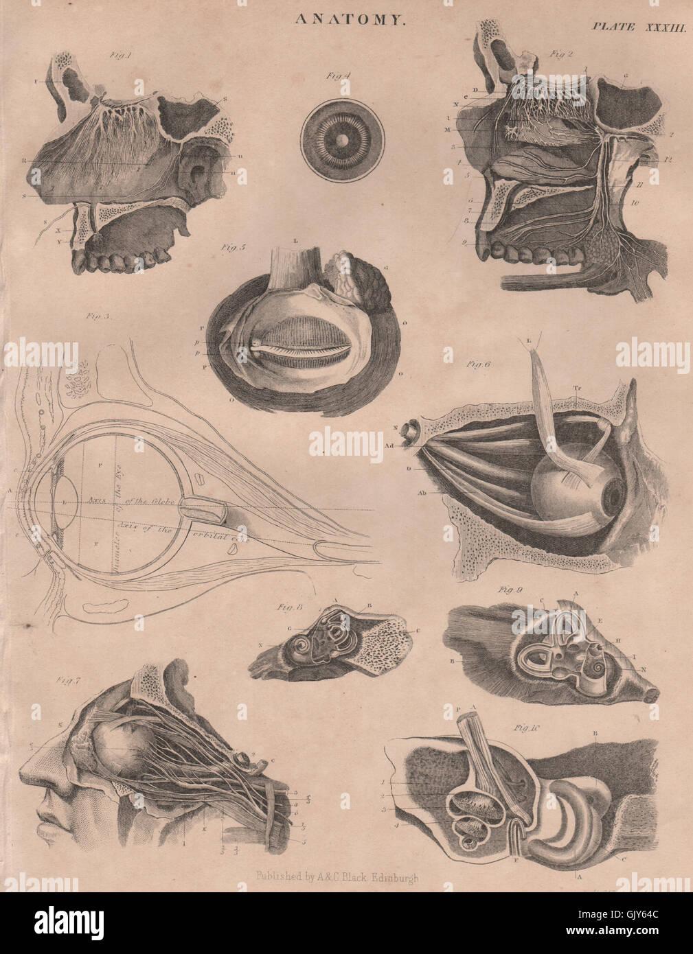 Human Anatomy Eyes Eyeballs Britannica Antique Print 1860 Stock