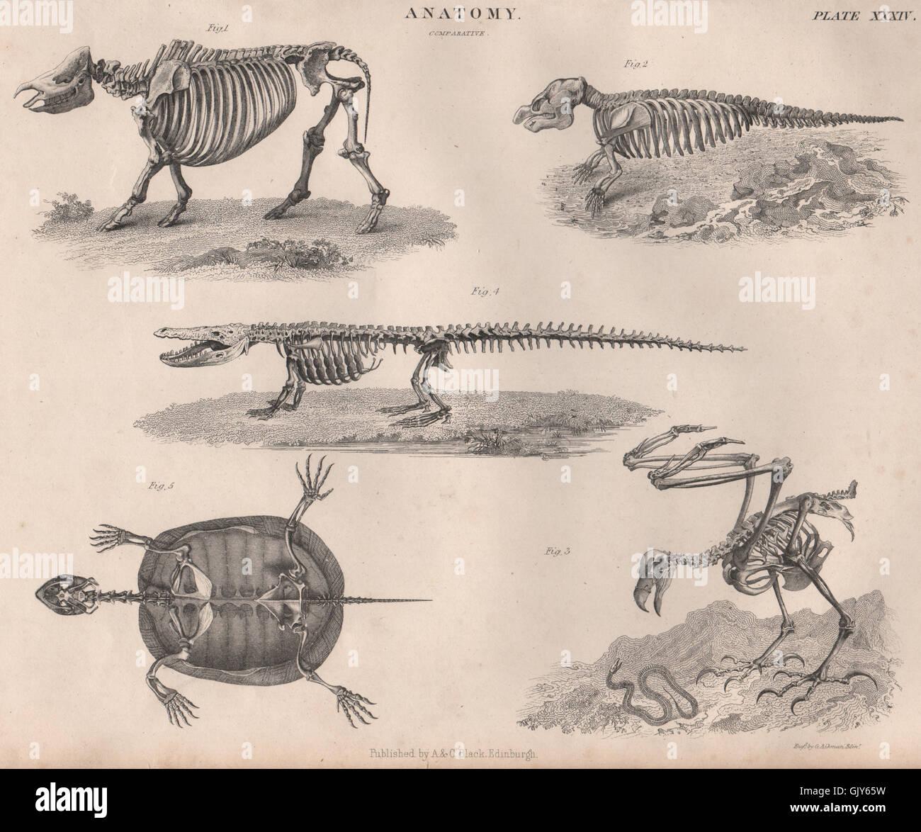 Anatomy. Animal skeletons. Crocodile tortoise turtle bird Stock ...