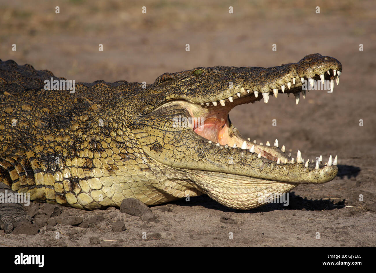 crocodile with its mouth open - Stock Image