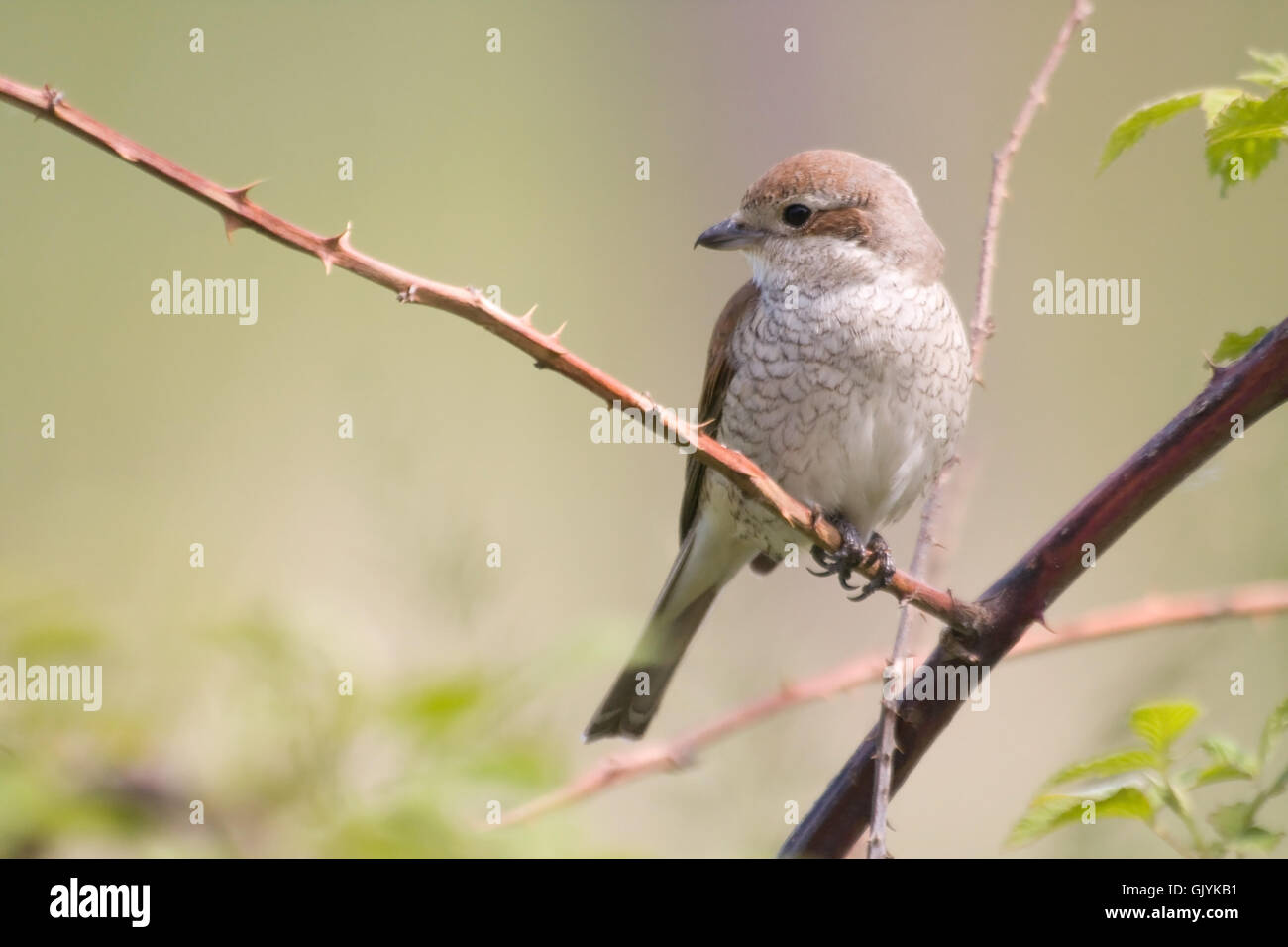 shrikes - Stock Image