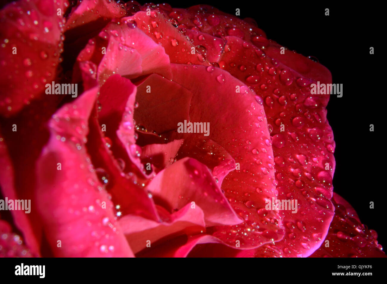 Close-up Single Red Rose with Water droplets on Black Background - Stock Image