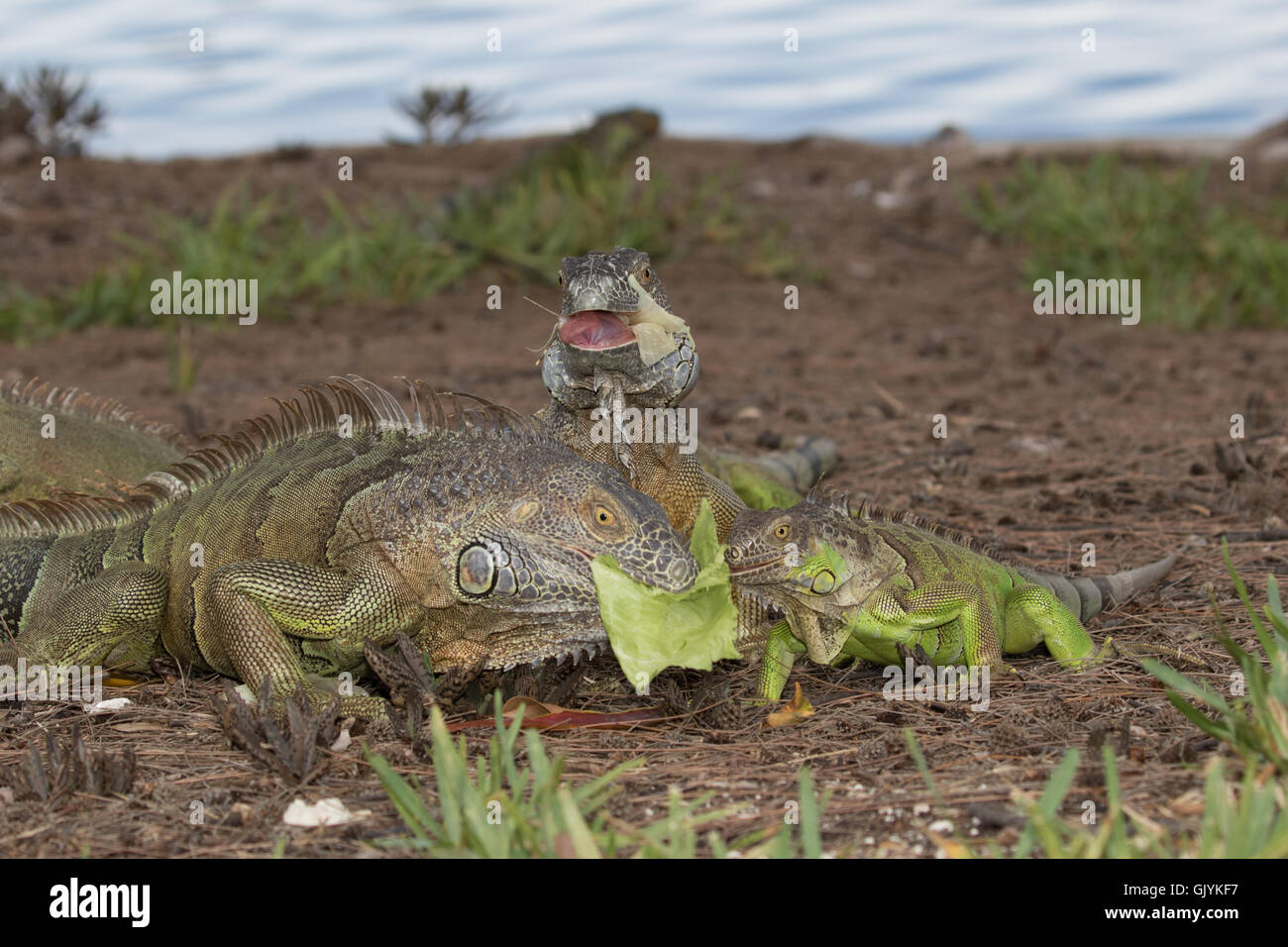 Tongue Spines Stock Photos & Tongue Spines Stock Images - Alamy