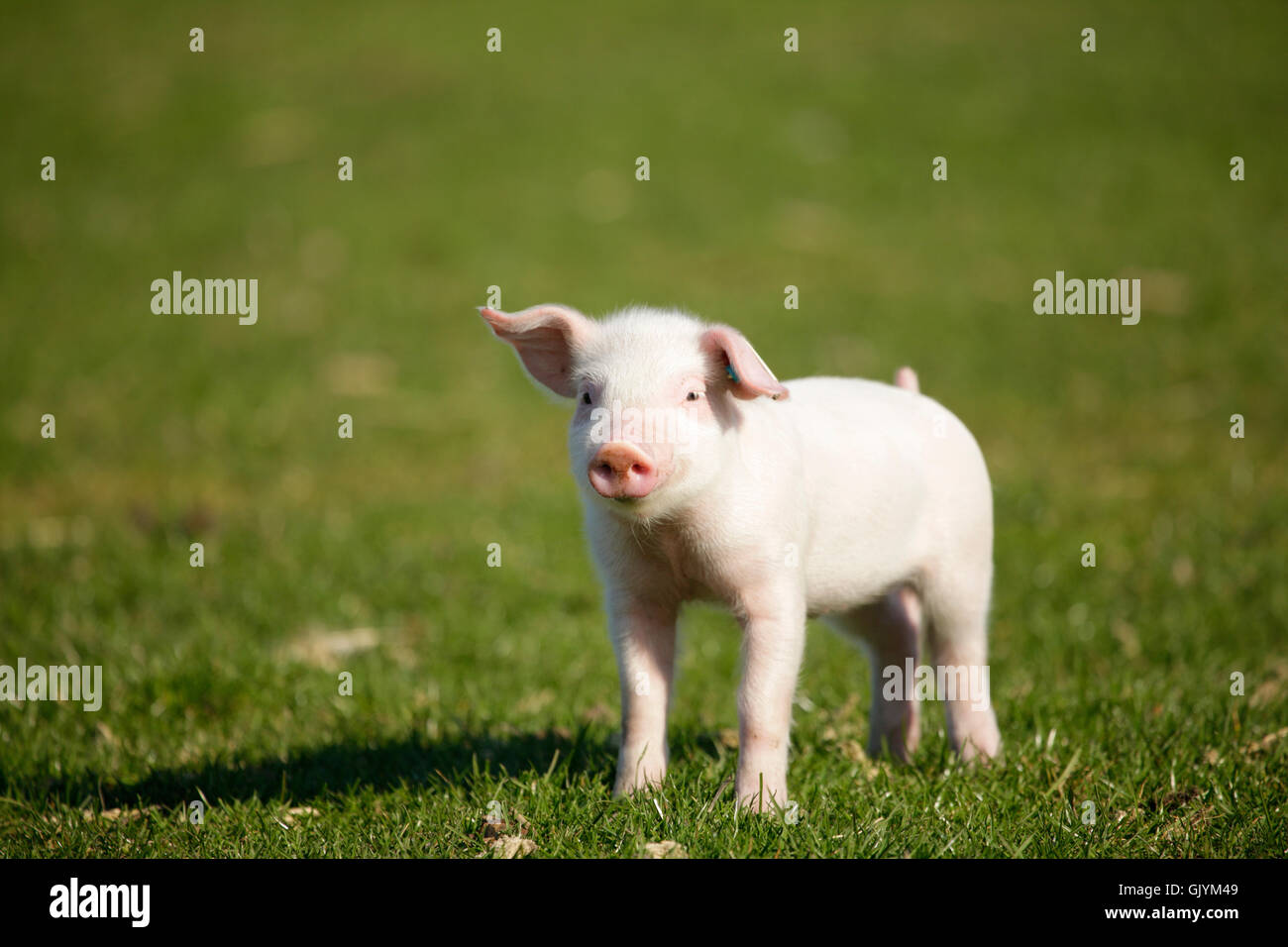 piglets on meadow - Stock Image