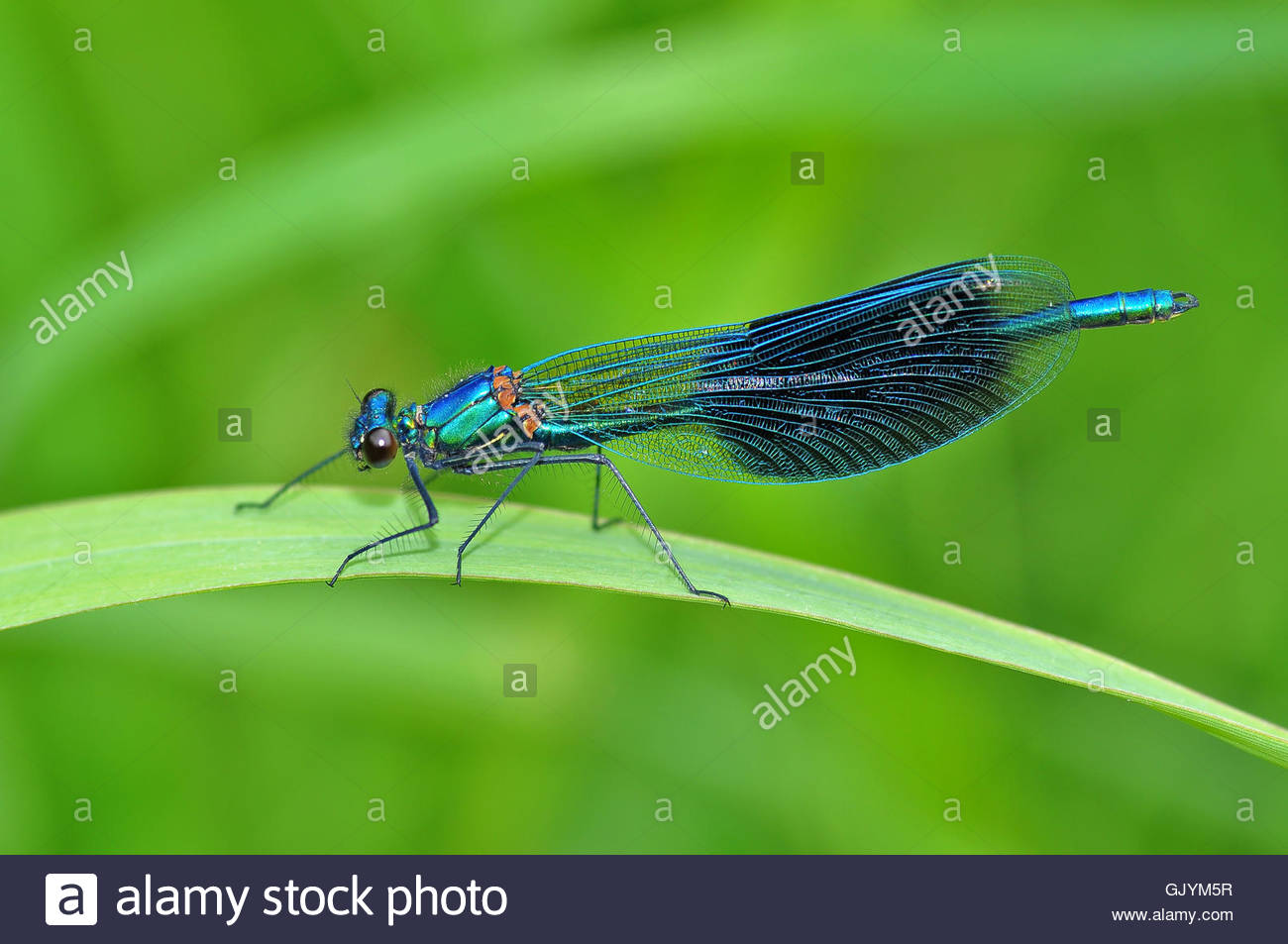 dragonfly dragonflies masculinely - Stock Image