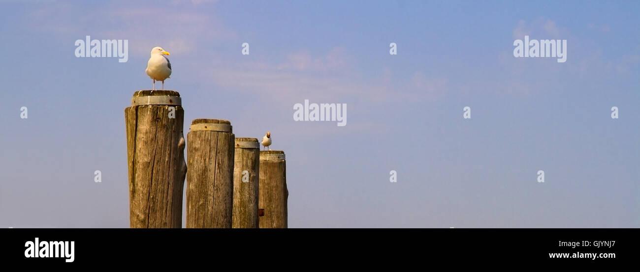 wachsam aufmerksam mowe nordsee beobachten hafen kuste vogel mowe moewe mowen moewen nordsee vogel nord-see wache - Stock Image