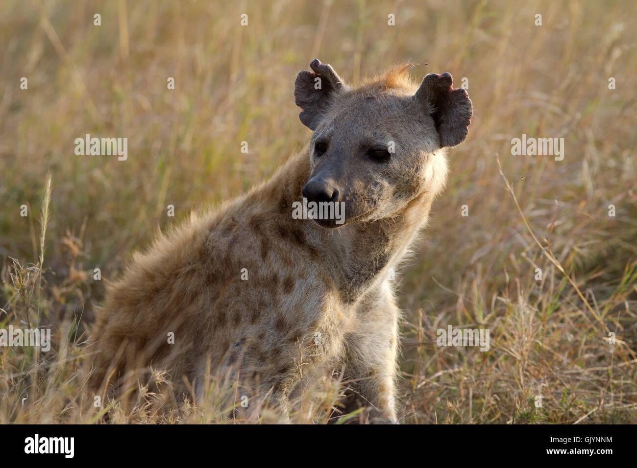 hyena - Stock Image