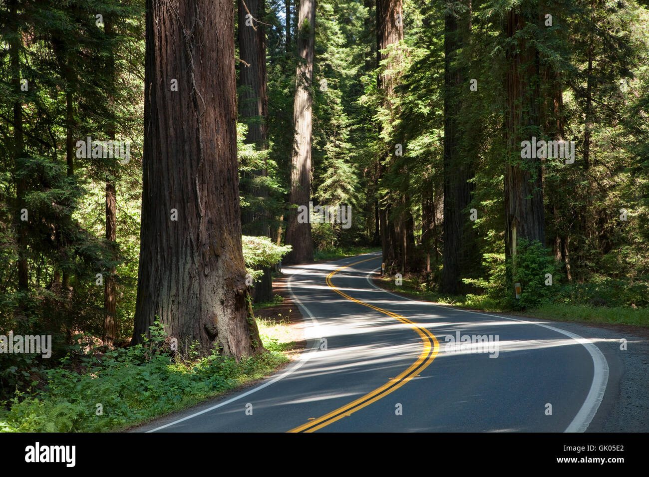 highway through the redwoods - Stock Image