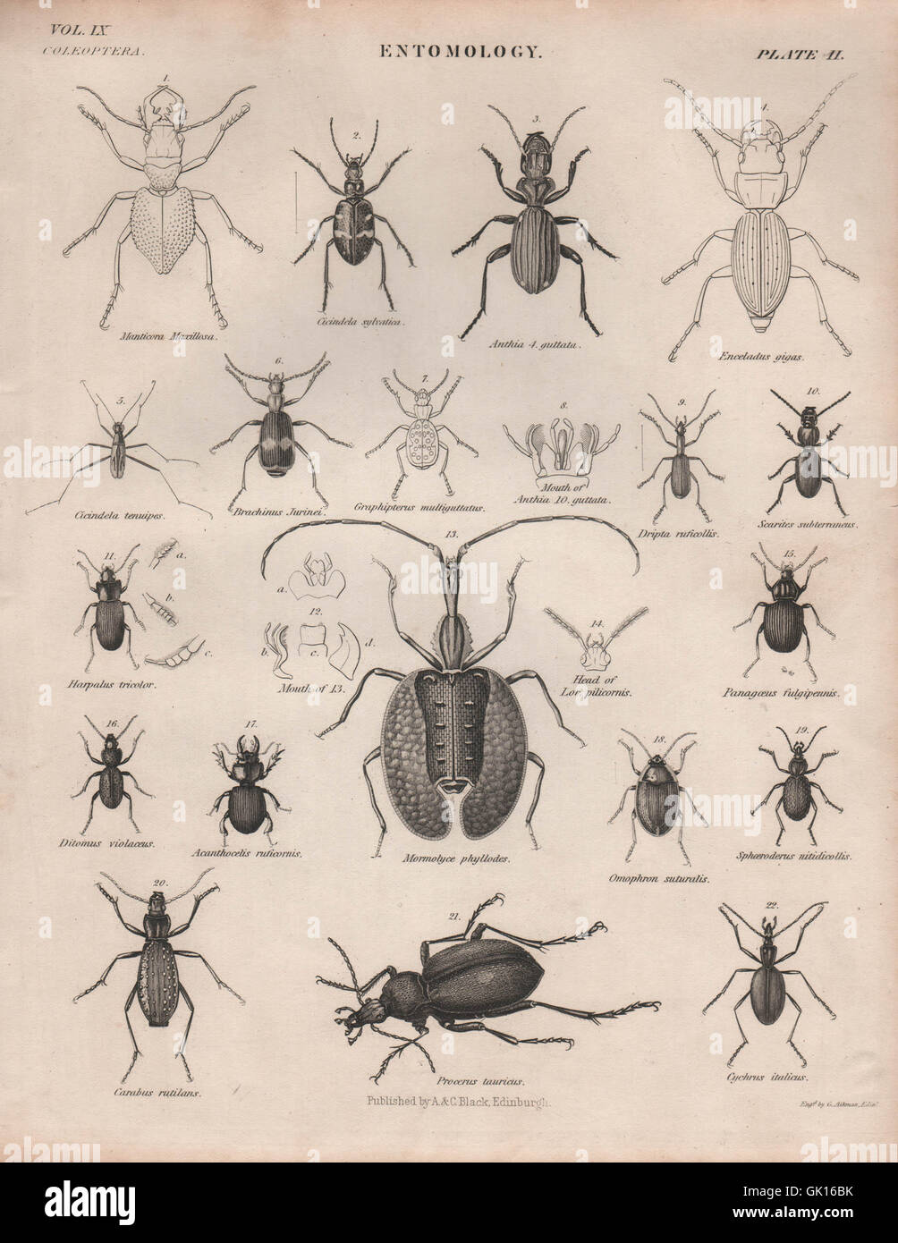 ENTOMOLOGY 2. Insects beetles. BRITANNICA, antique print 1860 - Stock Image
