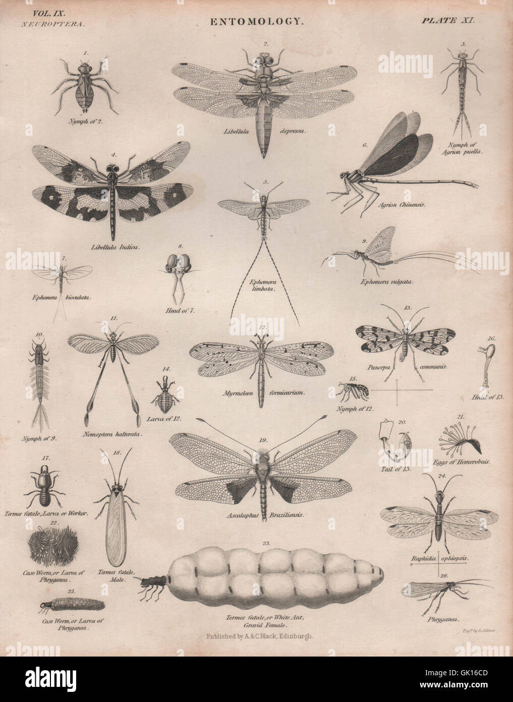 ENTOMOLOGY 11. Insects dragonflies dragonfly. BRITANNICA, antique print 1860 - Stock Image