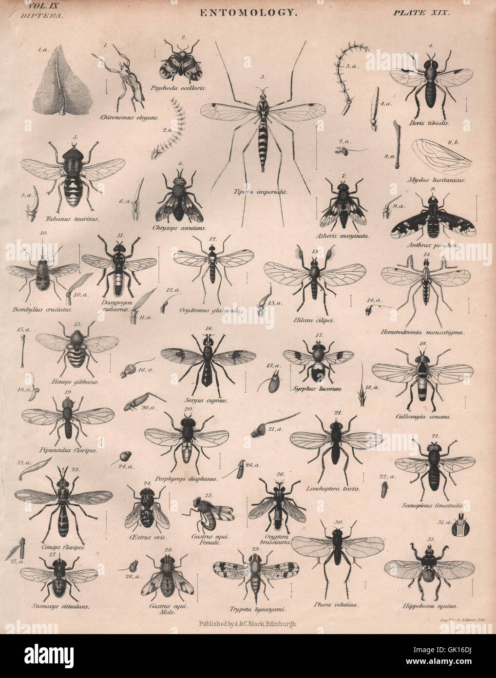 ENTOMOLOGY 19. Insects flies. BRITANNICA, antique print 1860 - Stock Image