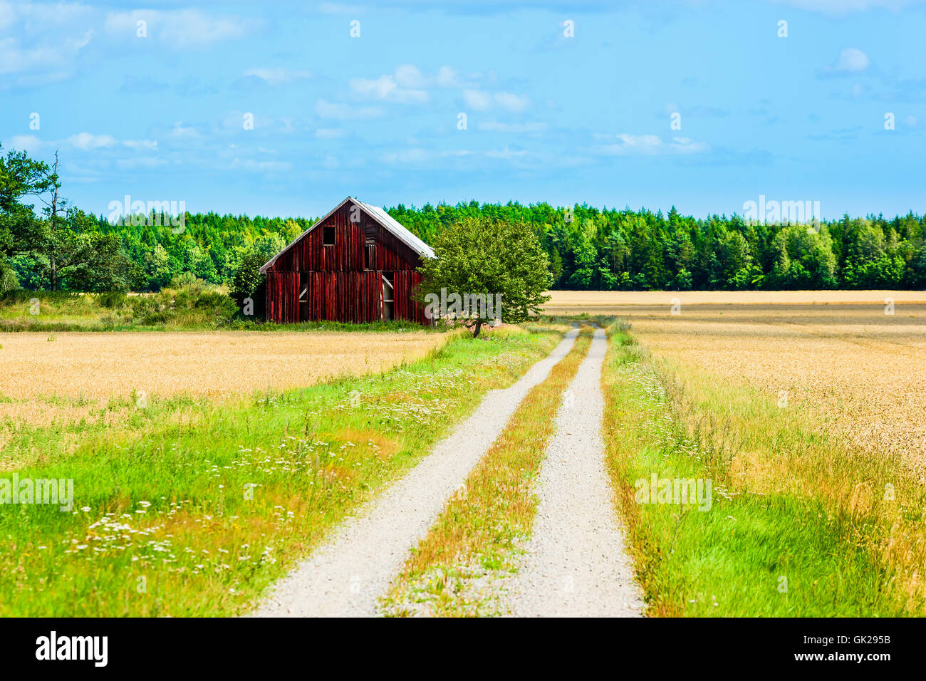 Dark red barn beside a country road surrounded by ripe crop and forest. Late summer early fall in the Swedish countryside. - Stock Image