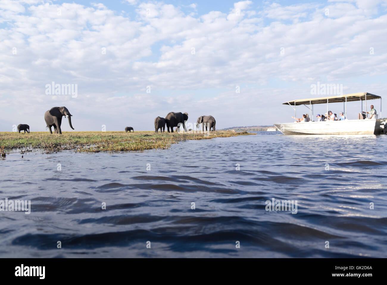 Tourists watch elephants  (loxodonta africana) grazing whilst game viewing on safari boats on the Chobe river Botswana - Stock Image