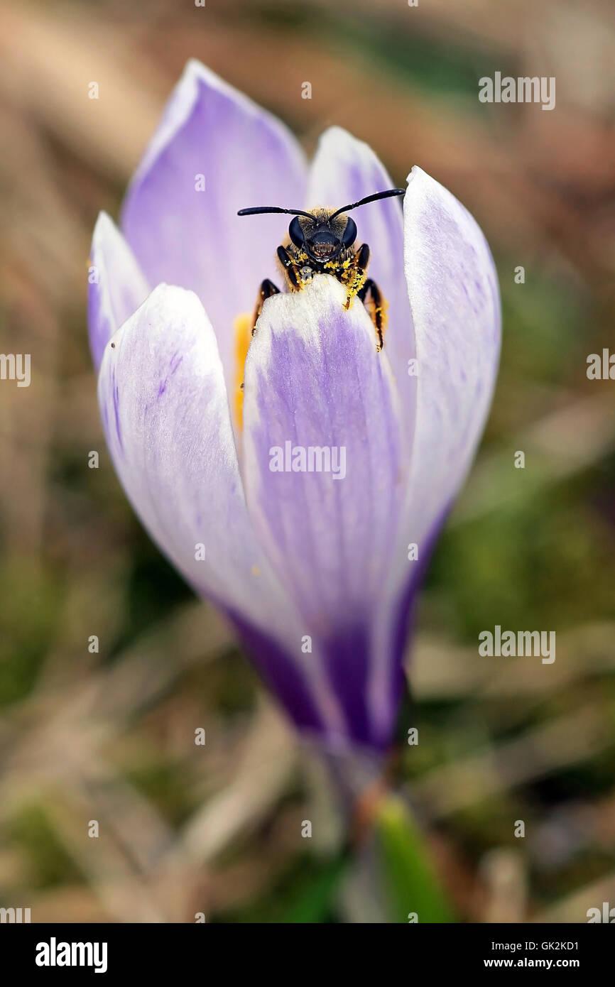 curiosity spring crocus - Stock Image