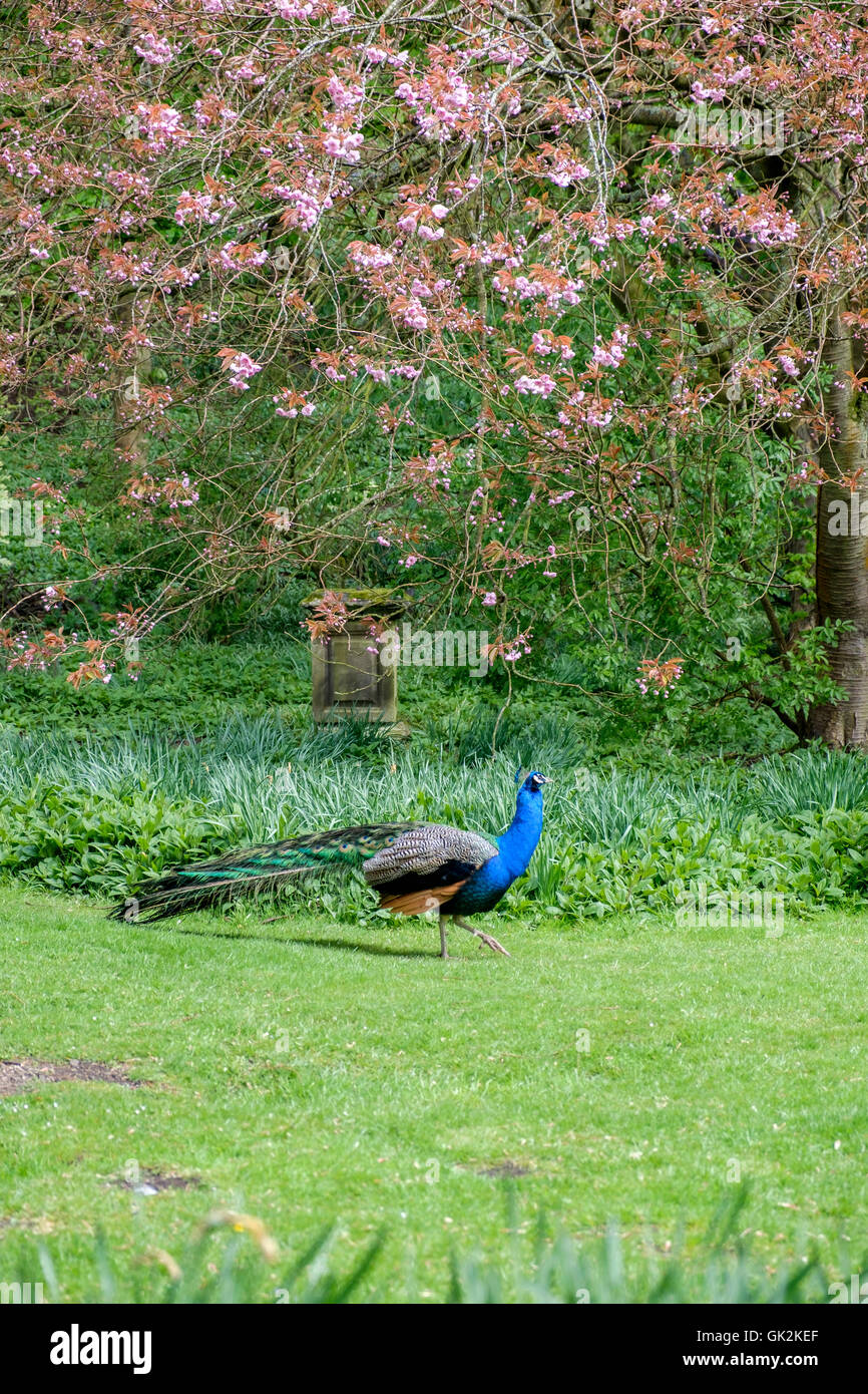 Portrait format image of beautiful peacock with its colorful blue and green plumage walking against a background Stock Photo