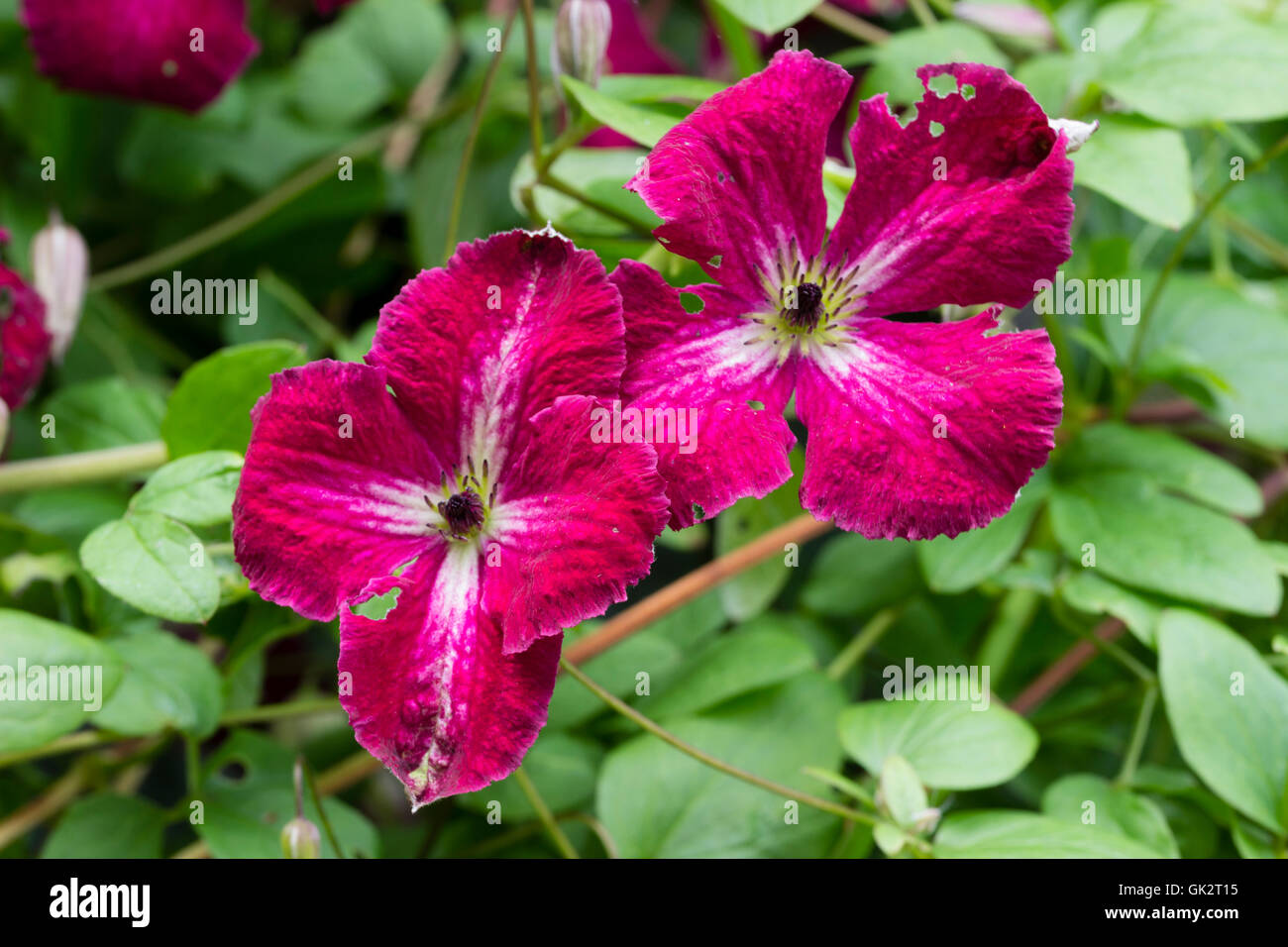 Red flowers of the hardy climbing viticella type Clematis 'Abundance' - Stock Image