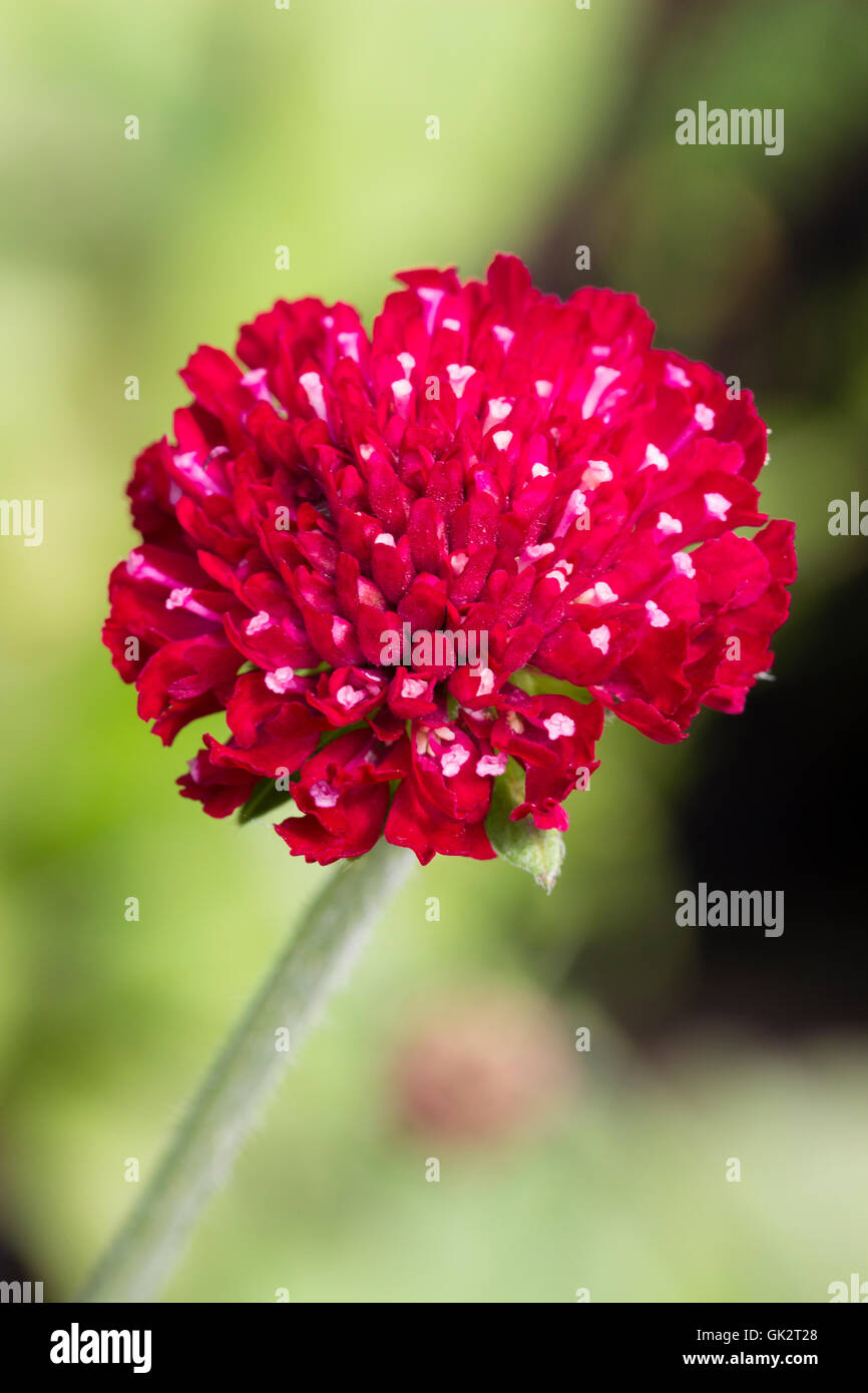 Red flower head of the compact form of the Macedonian scabious, Knautia macedonica 'Mars Midget' - Stock Image