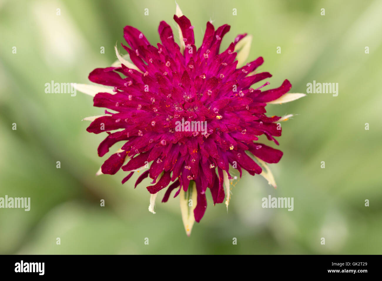 Red flowers of the Macedonian scabious, Knautia macedonica 'Thunder and Lightning', are enhanced by pale - Stock Image