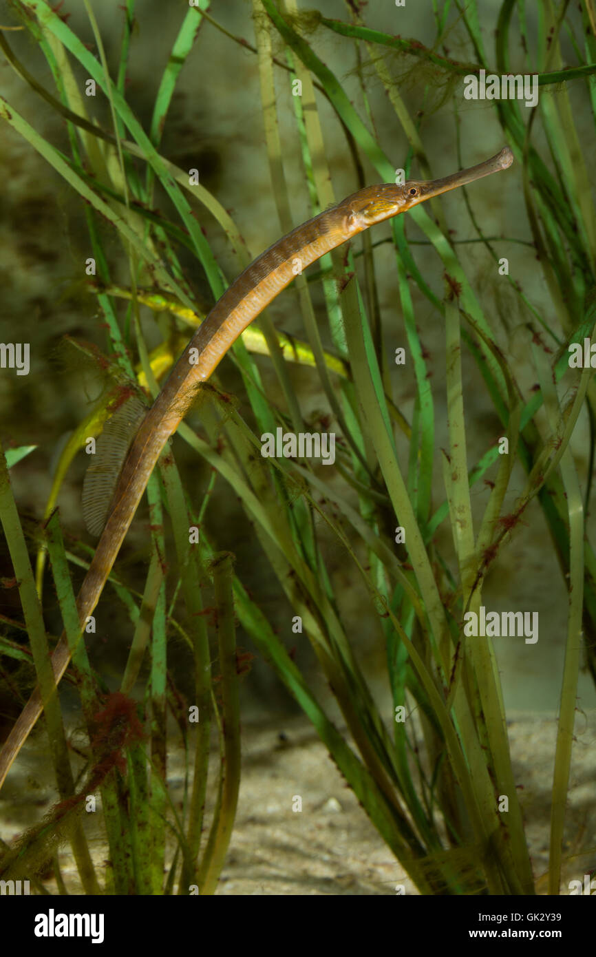 Große Seenadel, zwischen Seegras, Syngnathus acus, great pipefish, greater pipefish, Syngnathe aiguille, vipère - Stock Image