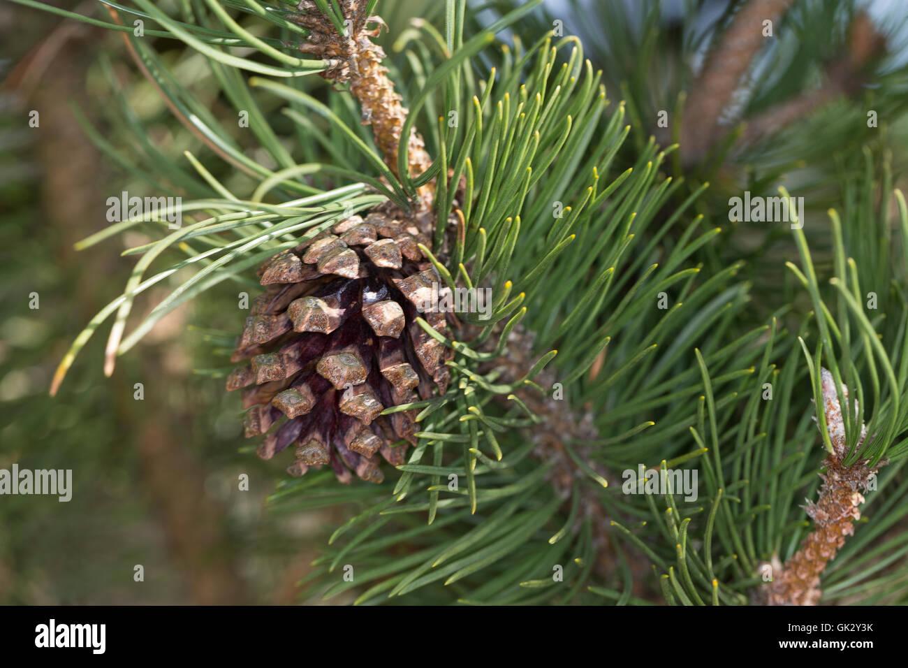 Hakenkiefer, Haken-Kiefer, Spirke, Aufrechte Bergkiefer, Berg-Spirke, Bergspirke, Pinus uncinata, Pinus mugo uncinata, - Stock Image