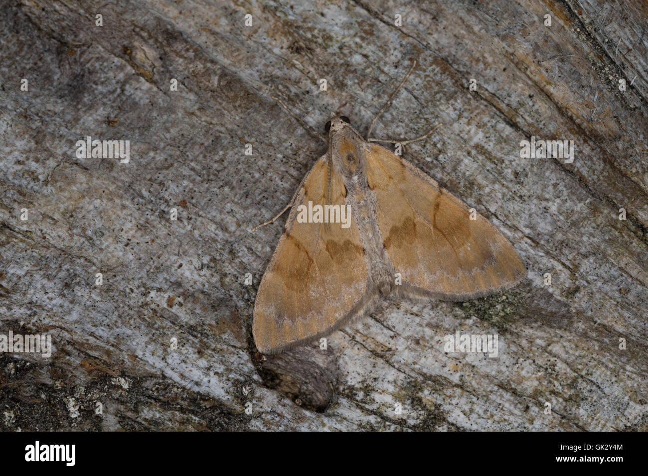 Herbst-Kiefern-Nadelholzspanner, Herbst-Kiefernnadelholzspanner, Herbst-Kiefernadelholz-Spanner, Violettgrauer Kiefern - Stock Image