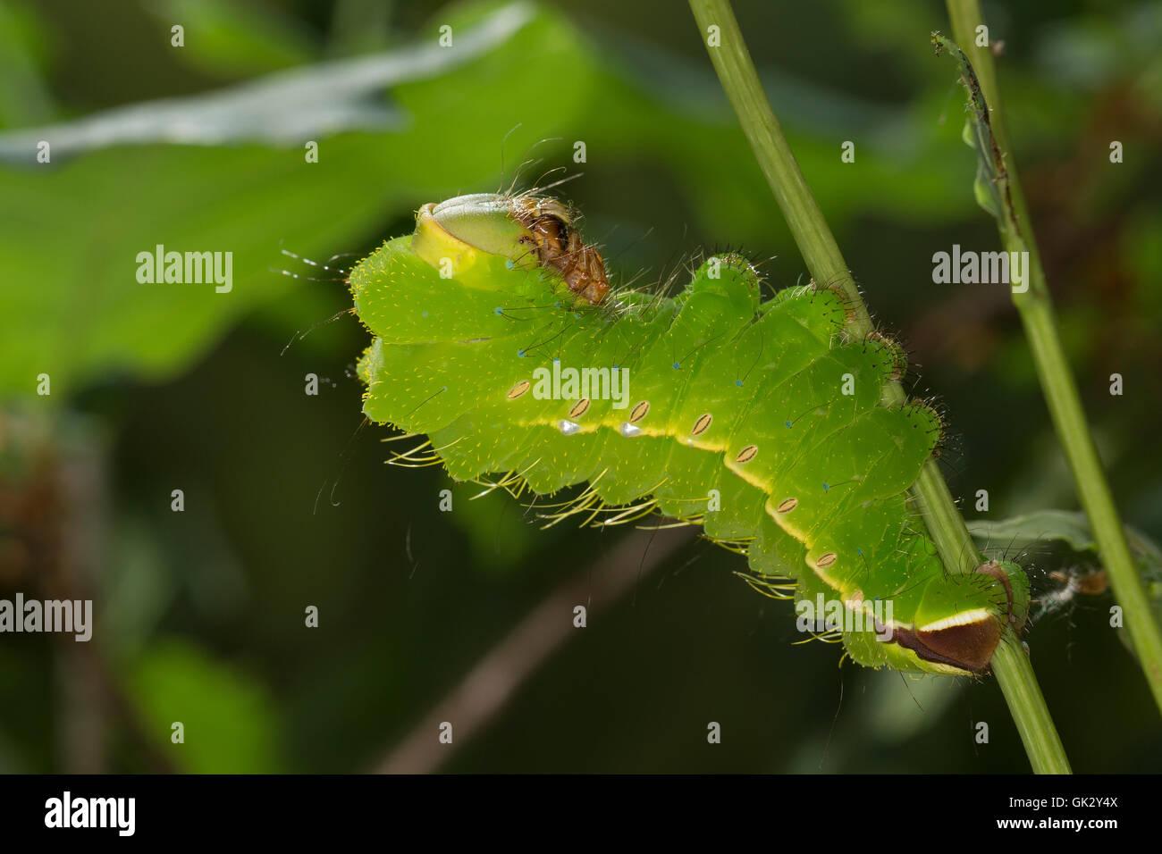 Seidenspinnerraupe