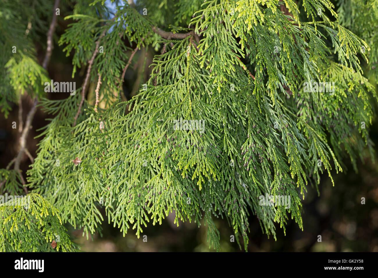 Japanischer Lebensbaum, Japan-Lebensbaum, Thuja standishii, Japanese Thuja, nezuko, kurobe, Le thuya du Japon - Stock Image