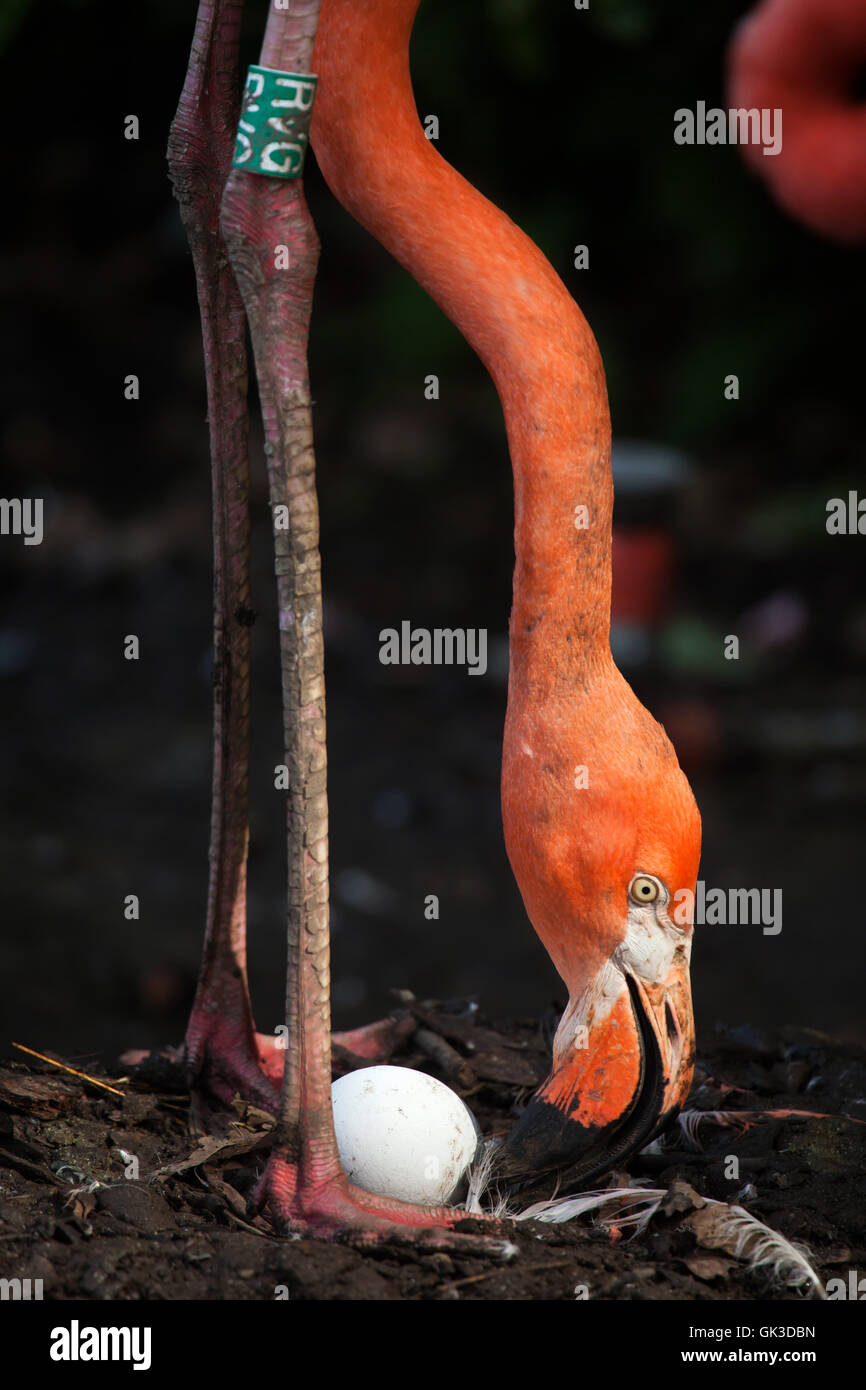 Caribbean flamingo (Phoenicopterus ruber), also known as the American flamingo inspects its eggs in the nest at Stock Photo