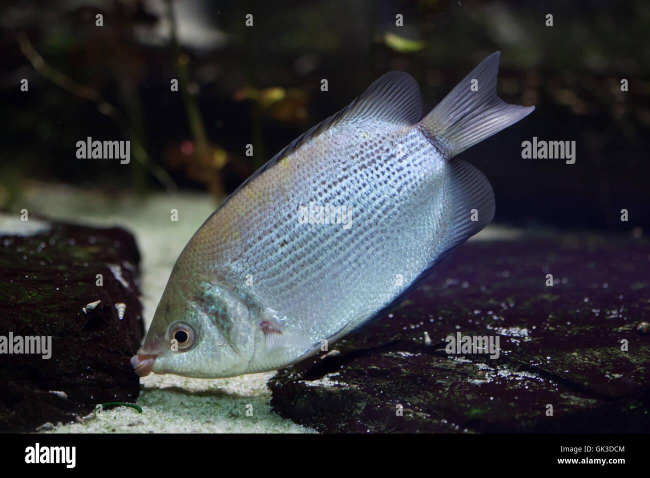 Kissing gourami (Helostoma temminckii), also known as the kissing fish. Wildlife animal. Stock Photo