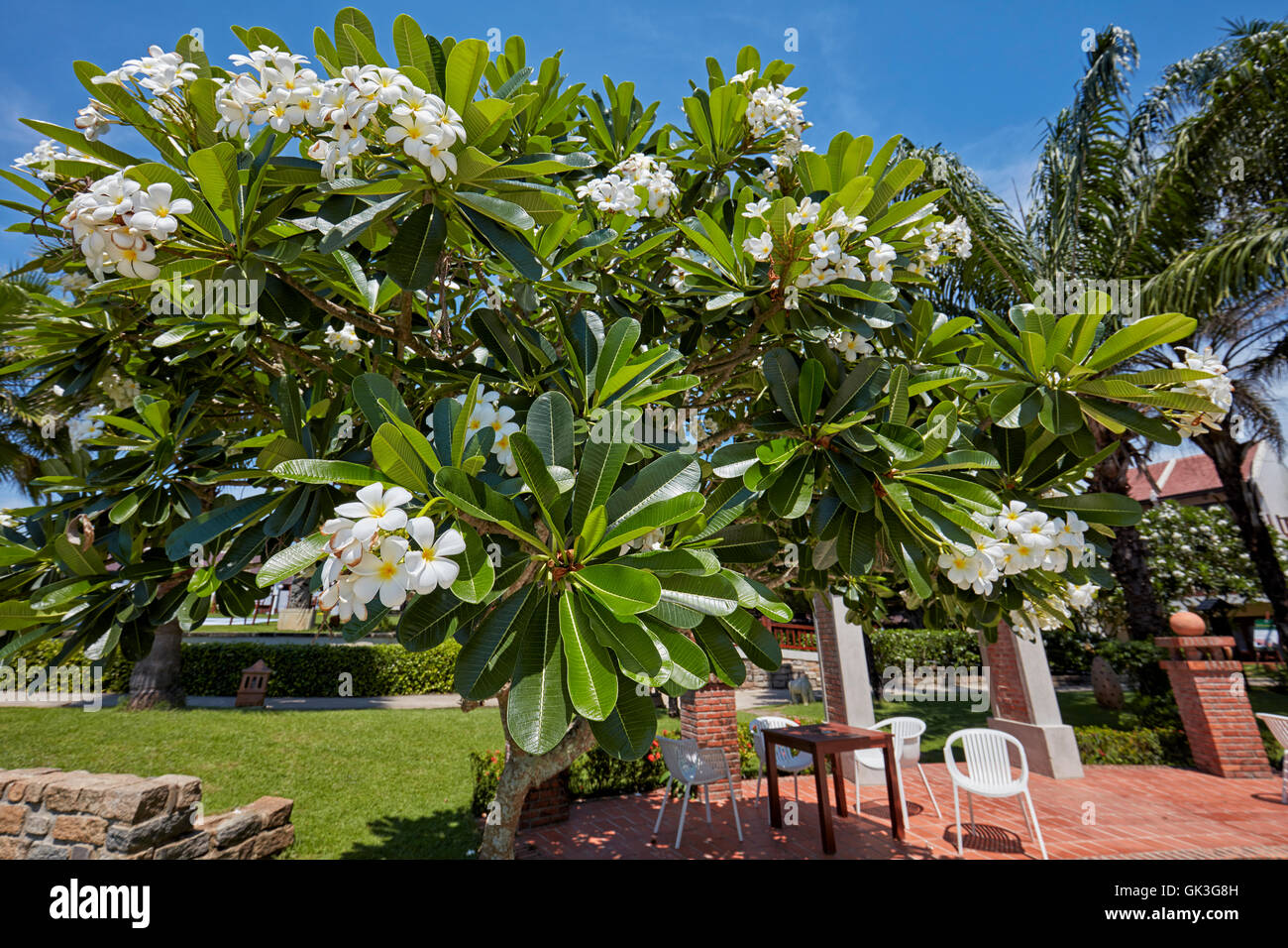 White Frangipani Tree Asia Stock Photos White Frangipani Tree Asia