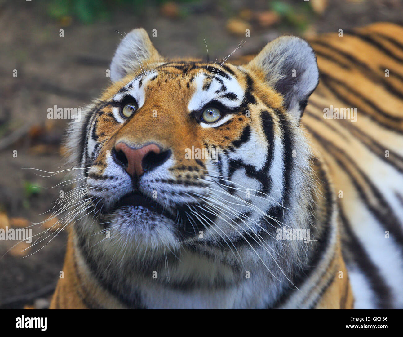 Bengal tiger portrait - Stock Image