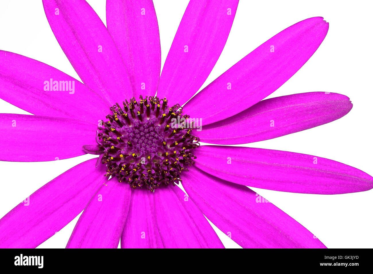 senetti pericallis - pink - Stock Image